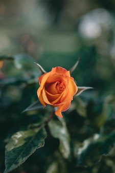 Closeup shot of an amazing orange rose flower