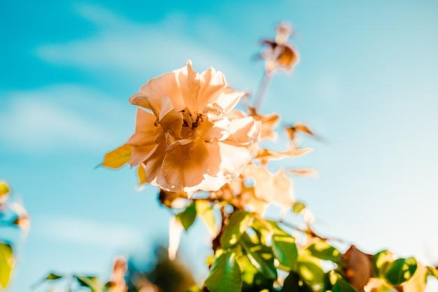 Colpo del primo piano di un incredibile fiore di rosa bianca su un cielo blu