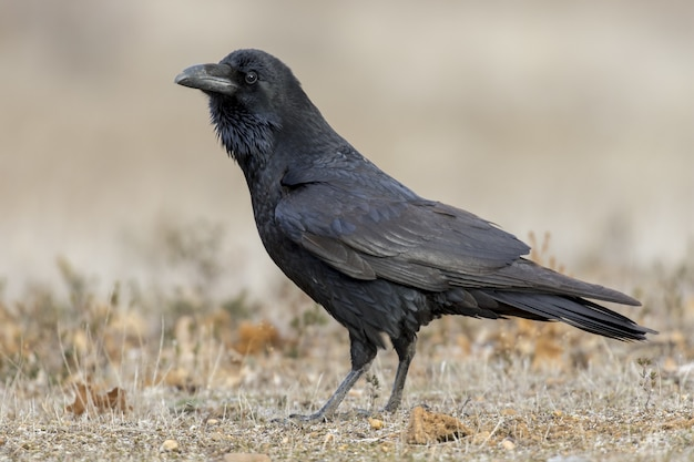 Closeup shot of an american crow with a blurred surface