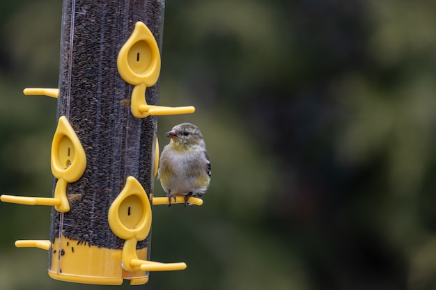 Colpo del primo piano di un uccello americano del cardellino che riposa su un contenitore dell'alimentatore dell'uccello