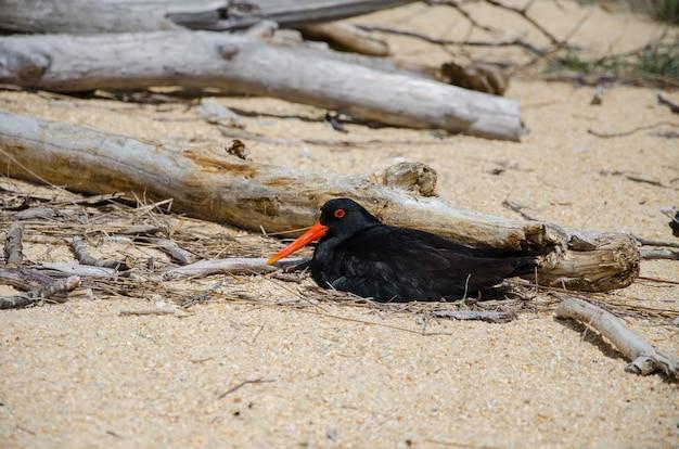 Colpo del primo piano di una beccaccia di mare australiana sulla sabbia