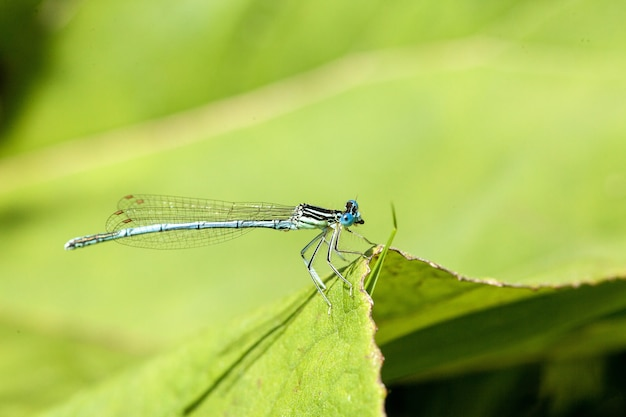 Closeup shot of an azure damselfly with distinctive black and blue coloring perched on a leaf blade