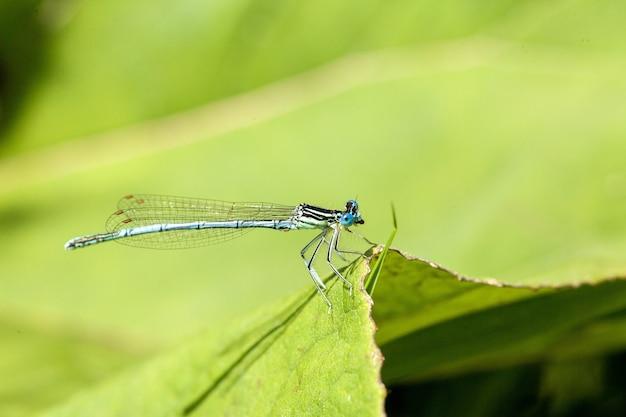 Colpo del primo piano di una libellula azzurra con colorazione nera e blu distintiva arroccato su una lama fogliare