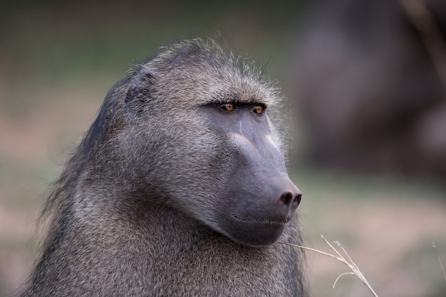 Closeup shot of a baboon monkey with a blurred background