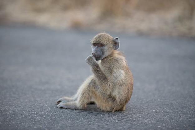 Colpo del primo piano di una scimmia del babbuino del bambino che si siede sulla strada