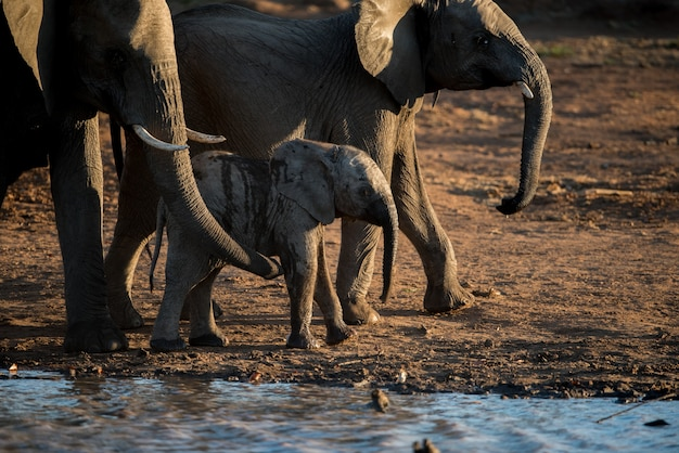 Closeup shot of a baby elephant walking together with the herd