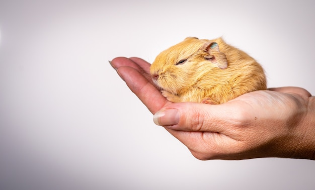 Closeup shot of a baby guinea pig in the palm of a person on a white background