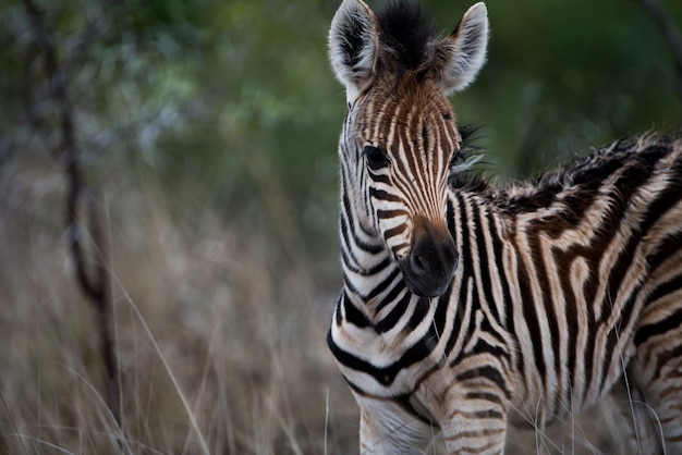 Closeup shot of a baby zebra