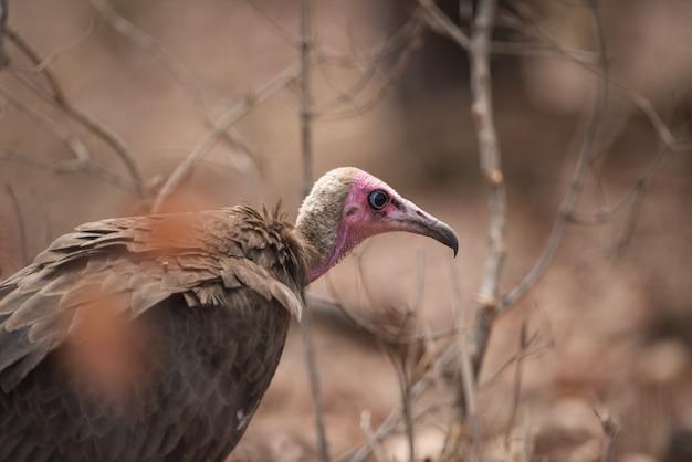 Closeup shot of a bald head vulture