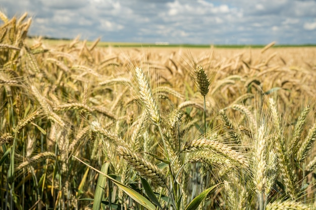 Closeup shot of the barley grain field during daytime