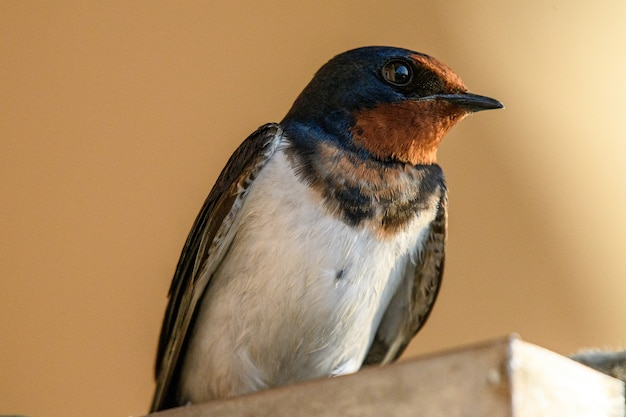 Closeup shot of a barn swallow