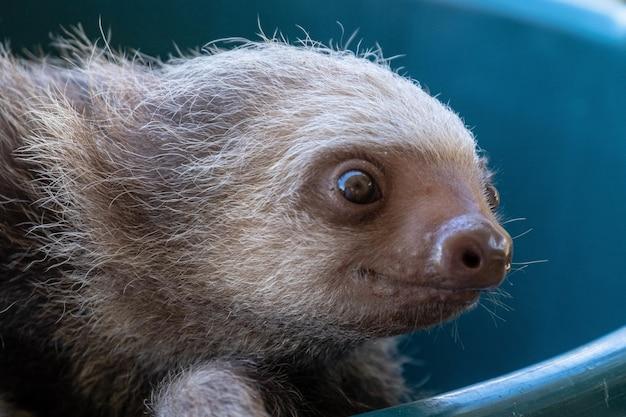 Primo piano di un bradipo della baia seduto su una piscina di plastica blu catturata in uno zoo