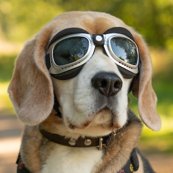 Closeup shot of a beagle in sunglasses with a blurry background