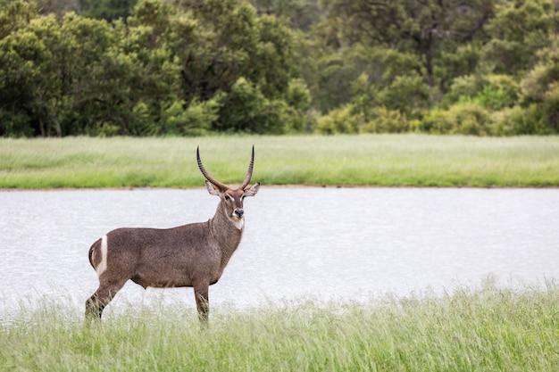 Colpo del primo piano di una bellissima antilope in piedi vicino al lago nella foresta