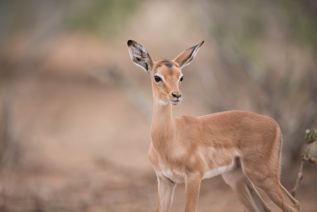 Closeup shot of a beautiful baby antelope