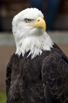 Closeup shot of a beautiful bald eagle with a blurred background