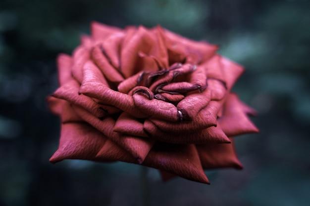 Colpo del primo piano di una bella rosa rosa fiorita con uno sfondo sfocato