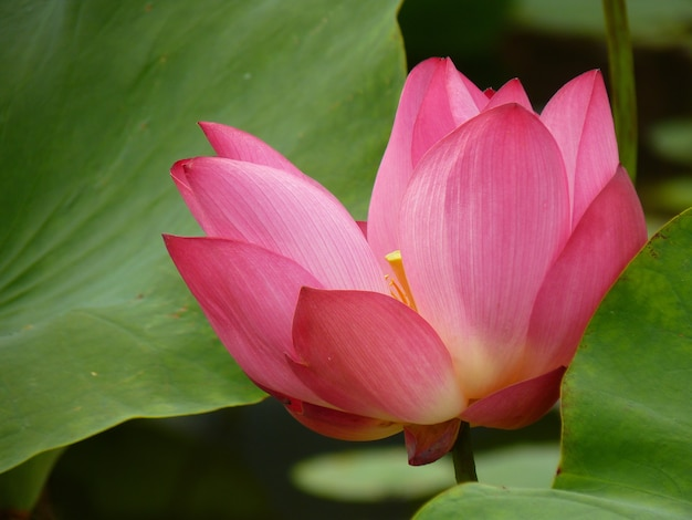Closeup shot of a beautiful blooming sacred lotus flower with pad leaves in a pond