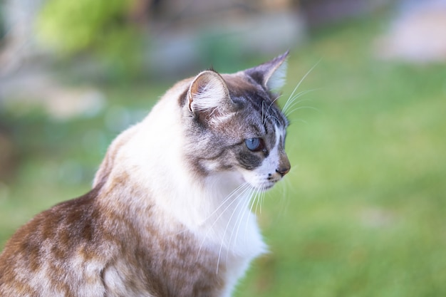Closeup shot of a beautiful blue-eyed white and brown cat with a blurry background