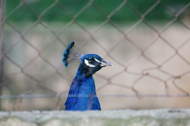 Closeup shot of a beautiful blue peacock behind the grid fence