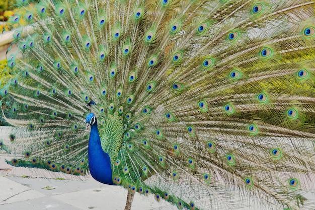 Colpo del primo piano di un bellissimo pavone blu con una splendida coda aperta