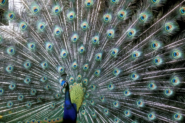 Closeup shot of a beautiful blue peafowl