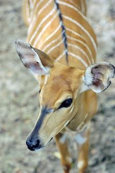 Colpo del primo piano della bellissima antilope bongo con strisce bianche