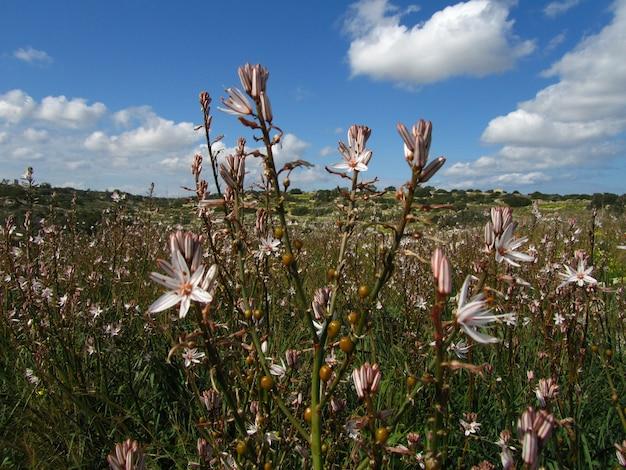 Colpo del primo piano di bellissime piante ramificate di asfodelo nelle isole maltesi, malta