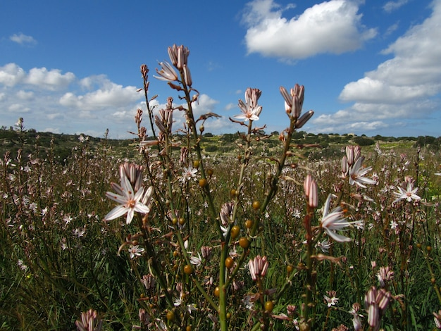 Closeup shot of beautiful branched asphodel plants in maltese islands, malta