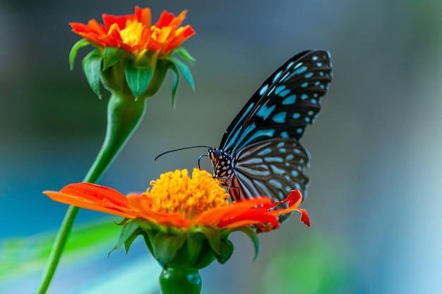 Colpo del primo piano di una bellissima farfalla su un fiore dai petali arancioni
