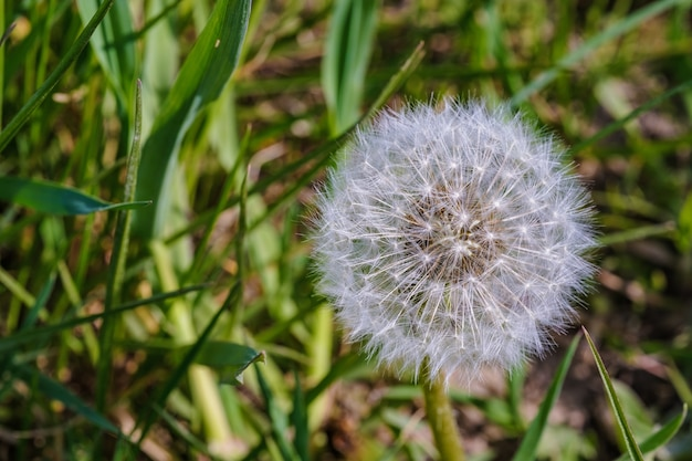 Closeup shot of a beautiful dandelion captured at daytime in the middle of a garden
