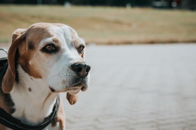 Colpo del primo piano di un bellissimo cane domestico seduto davanti a un parco con un guinzaglio al collo