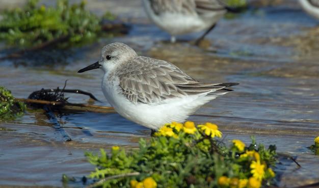 Colpo del primo piano di un'acqua potabile del bello uccello di dunlin nel lago con i fiori gialli