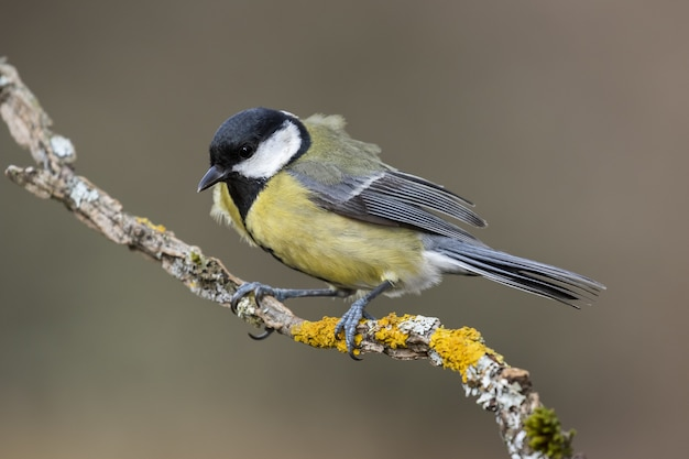 Closeup shot of a beautiful great tit sitting on a branch with a blurry