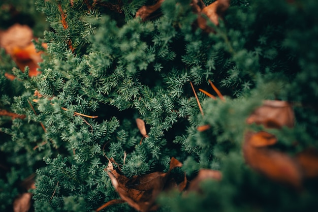 Closeup shot of a beautiful green pine tree in a forest