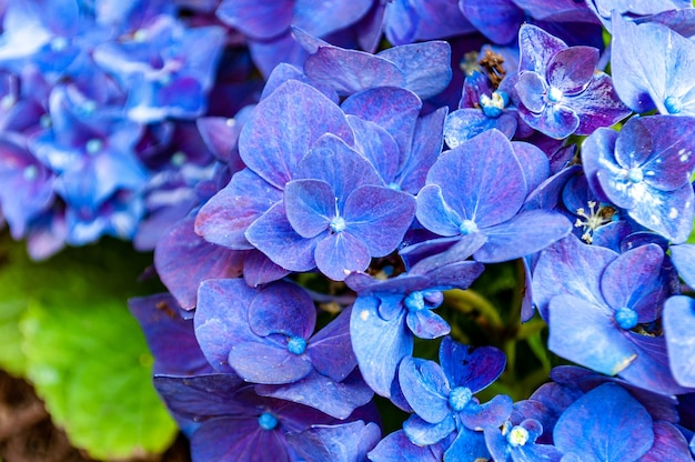Closeup shot of beautiful hydrangea flowers