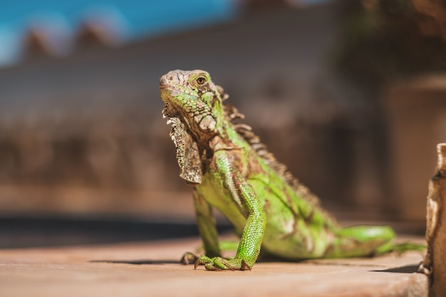 Colpo del primo piano di una bellissima iguana catturata nel nord del brasile, ceara, fortaleza / cumbuco / parnaiba