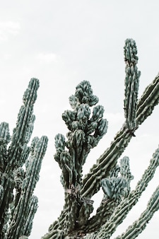 Closeup shot of a beautiful large cacti tree with long spiky branches and blooming fruit on them