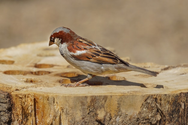 Closeup shot of a beautiful lonely house sparrow sitting on a stump