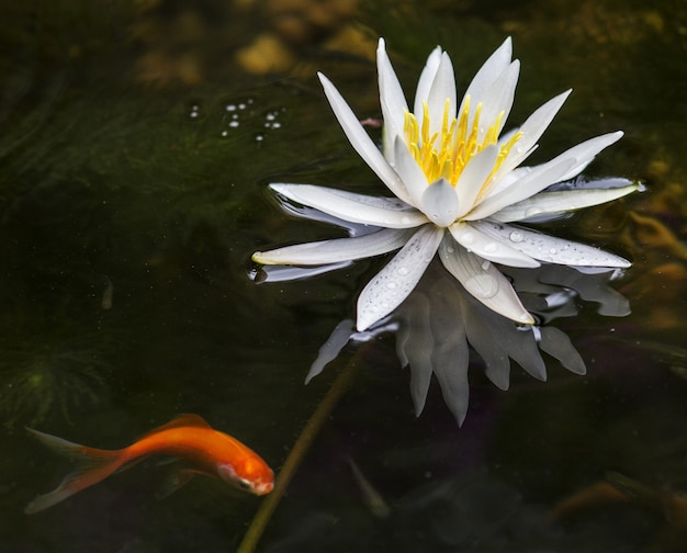 Closeup shot of a beautiful lotus flower blooming in a lake with a gold fish on the side