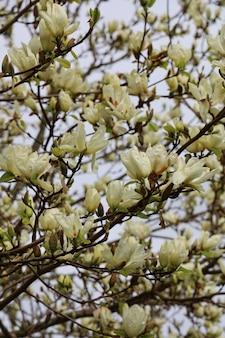 Colpo del primo piano di bellissimi fiori di magnolia su uno sfocato