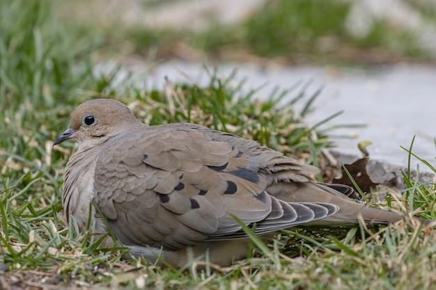 Colpo del primo piano di una bella colomba di lutto che riposa su un terreno erboso