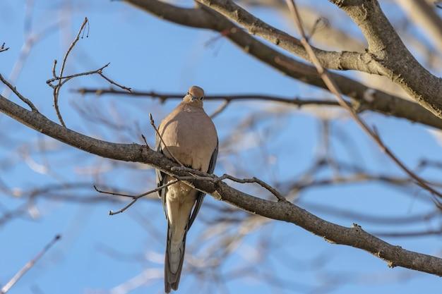 Colpo del primo piano di una bella colomba di lutto che riposa sul ramo di albero