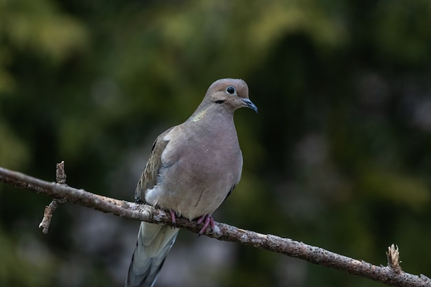 Closeup shot of a beautiful mourning dove resting on a twig