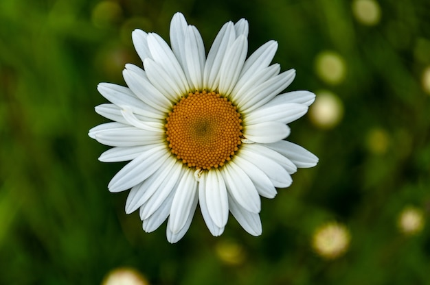 Closeup shot of a beautiful oxeye daisy flower