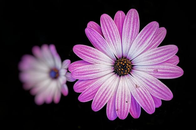 Closeup shot of a beautiful pink african daisy
