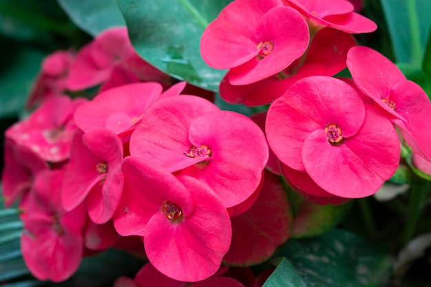 Closeup shot of beautiful pink crown of thorns flowers