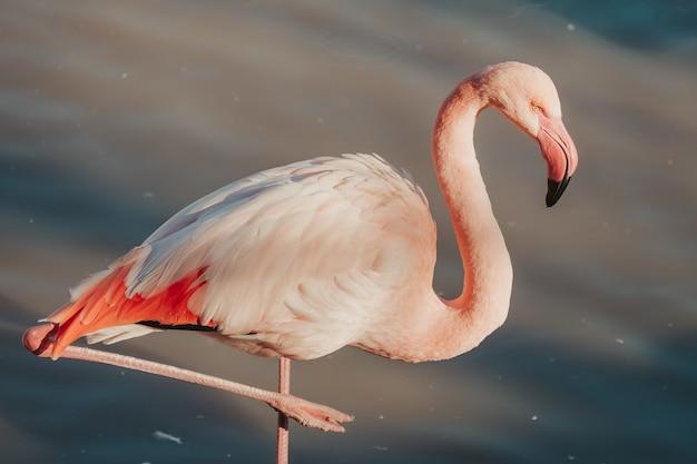 Closeup shot of a beautiful pink flamingo