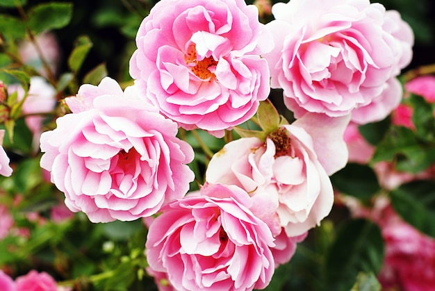 Closeup shot of beautiful pink garden roses growing on the bush