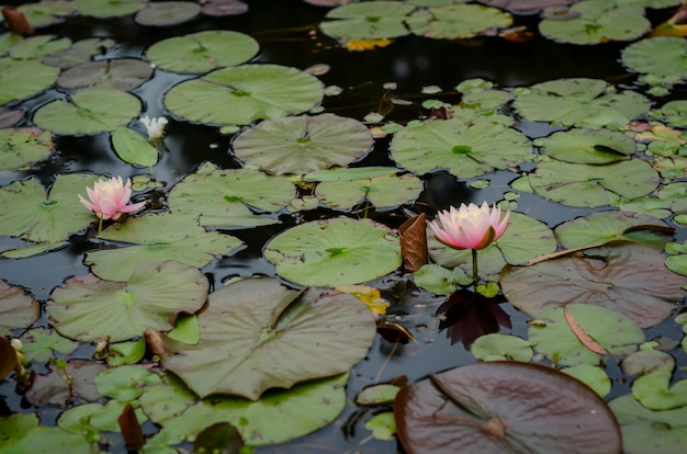 Closeup shot of beautiful pink nymphaea nelumbo flowers in the water with big leaves